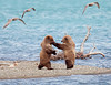 Bears - Alaska : Brown Bears in Alaska - Brooks Camp - September 11-17, 2007