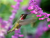 Hummingbirds : Hummingbirds in their natural habitats.
